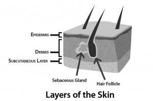 skin-epidermis-dermis-hair