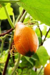 buah labu kuning or pumpkin