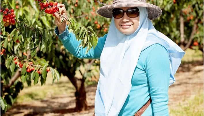 Cherry Picking-Asyiknya Memetik Buah Cherry