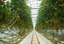 Kebun Tomat Hodroponik-OZIP