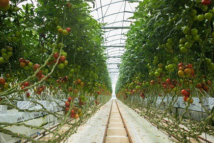 Jalan-Jalan ke Kebun Tomat